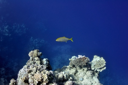 The picture shows a sparidae fish, swimming around coral reef, in the water of Red Sea, Egypt, near Dahab town. photo