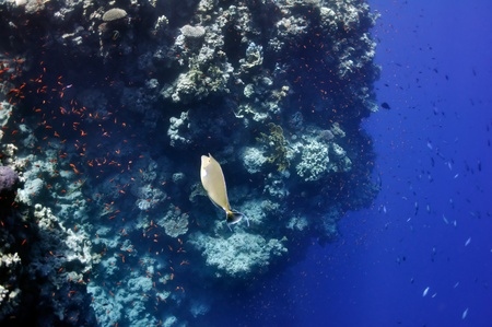 surgeon fish: The picture shows a surgeon (?) fish, swimming around coral reef, in the water of Red Sea, Egypt, near Dahab town.