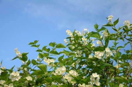 Bush with a lot of spring flowers at the blue (and partially clouded) sky background Stock Photo