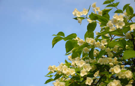 Bush with a lot of spring buds at the blue (and partially clouded) sky background