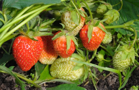 Close-up view of the group of strawberries in a natural scene Stock Photo