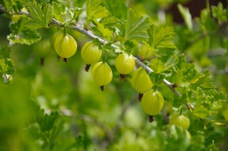 Gooseberry branch with a lot of green gooseberries and leaves, shot in the middle of summer
