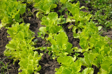 The rows of lettuce planting in a natural scene photo