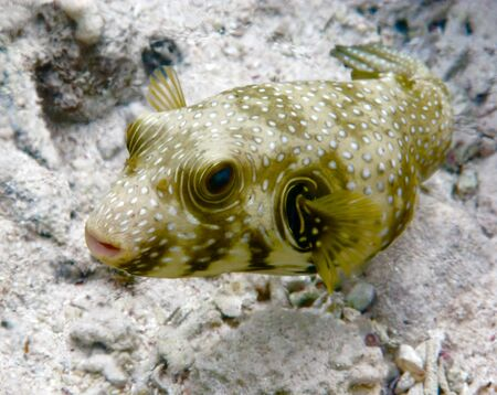 boxfish: This is a picture of a boxfish, taken in a natural underwater conditions.
