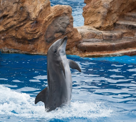 Dolphin standind at his fin in the pool
