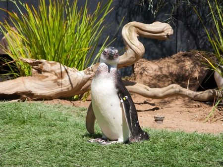 A magellan pinguin looking at the phtographer