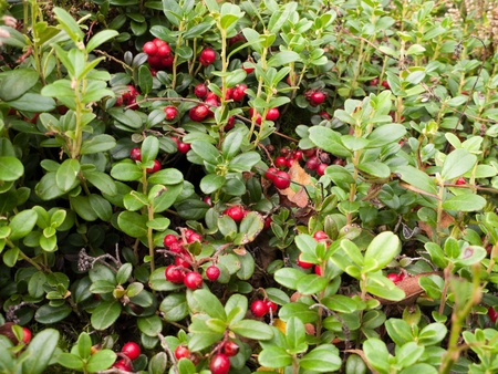 Close view of the cowberry field with a lot of red berries and green leaves Stock Photo
