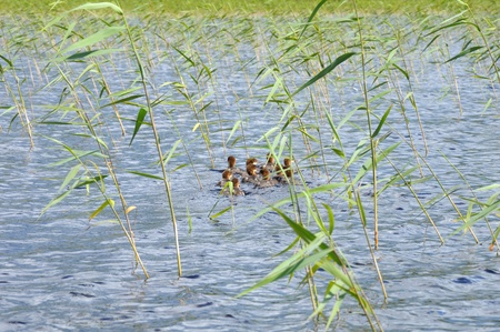 The picture shows a group of ducklings floating on a lake surface Stock Photo