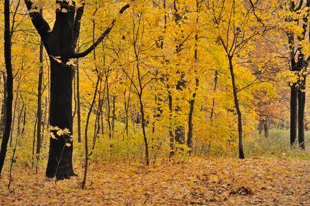 Colorful view of the autumn forest with a lot of yellow leaves on trees and ground Stock Photo