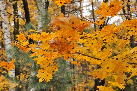 Close view of the autumn yellow leaves on a maple tree Stock Photo