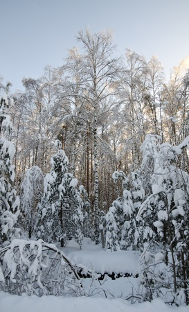 Beautiful view of the shiny and frozen winter forest after the january icy rain (at the blue sky background)