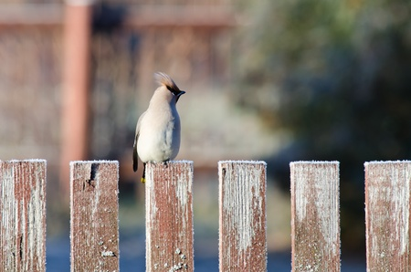 Close up view of the waxwing sitting on a fence in autumn garden