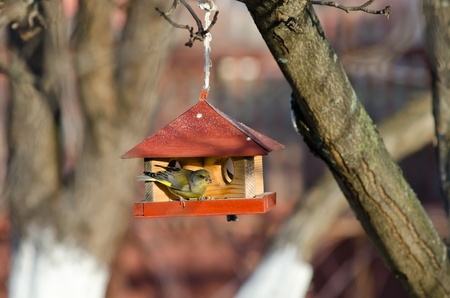 Small greenfinch tries to get sunflower seeds from manger Stock Photo