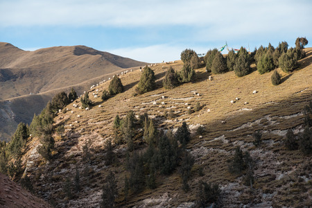 A flock of white sheeps is grazing on a Tibetan sunny mountain slope photo