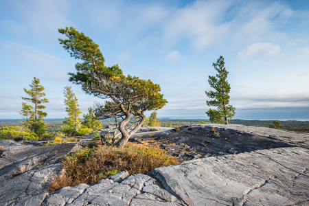 Evening view of a bending tree struggling for life on a windy mountain top near Gearge Lake, Killarney, Canada