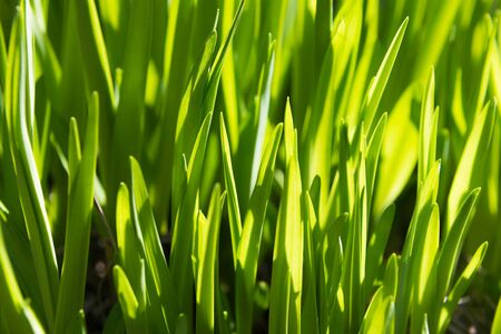Macro view of the first spring sprouts of rich green grass, suitable as a background image