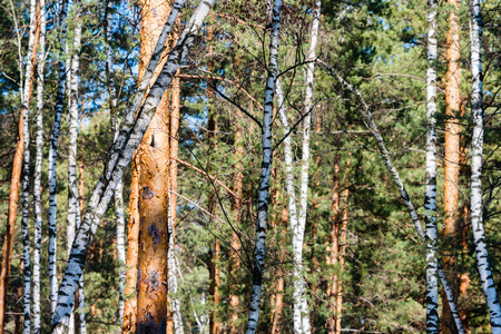 frailty: Early spring forest, full of birch and pine trees, plays with shadows and light Stock Photo
