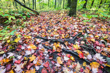 low angle views: Forest ground is fully covered by multicolored red, orange and yellow maple leaves, Killarney, Canada