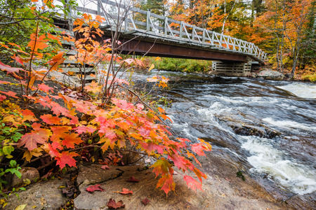 muskoka: Close up view of a maple plant with red autumn leaves and distant bridge across rapid stream, Muskoka, Ontario