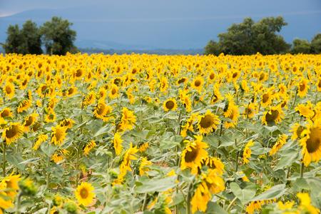 composure: Bright yellow sunflower field on a dark blue sky background