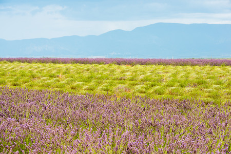 Rich colors of summer lavender field with green stalks and violet blossoms Stock Photo
