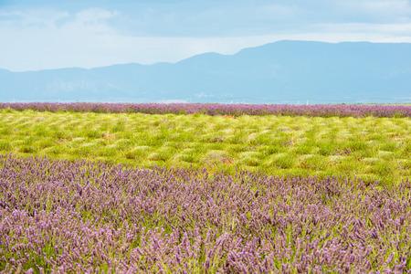 Rijke kleuren van de zomer Lavendel veld met groene stengels en paarse bloemen