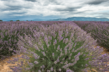 clouded: Close view of lavender blossom cluster under the clouded sky of Provence