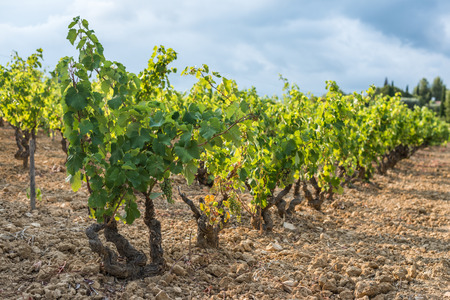 shallow  focus: Shallow focus picture of a vineyard row full of young green grapes Stock Photo