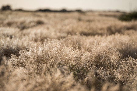 low angle: Low angle view of dead dry plants waving under the wind during Namibian hot winter season