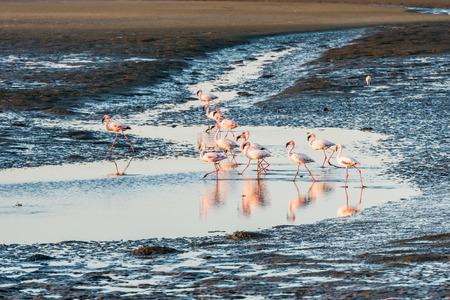 wetland: A group of pink and white flamingoes is moving along Atlantic Ocean shallows at Walvis Bay of Namibian Coast