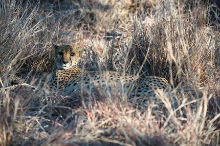 A cheetah is lying on a high dry winter savanna grass of cheetah farm at Namibia