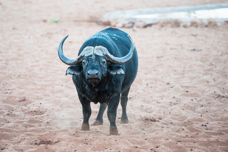 An African buffalo is standing on a sand and smelling the air for signs of danger at Waterberg Plateau National Park of Namibia