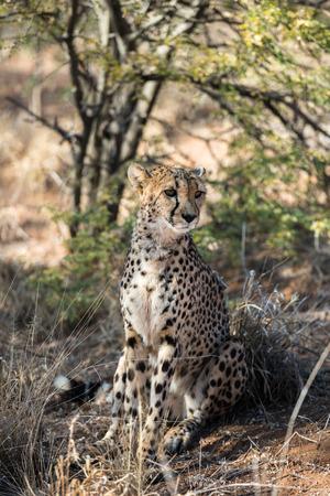 Close view of a cheetah in savanna woodlands of cheetahs farm at Namibia