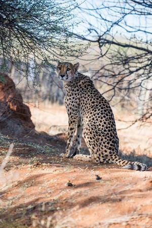 blotched: A cheetah is sitting under the tree cover at savanna woodlands of cheetahs farm at Namibia