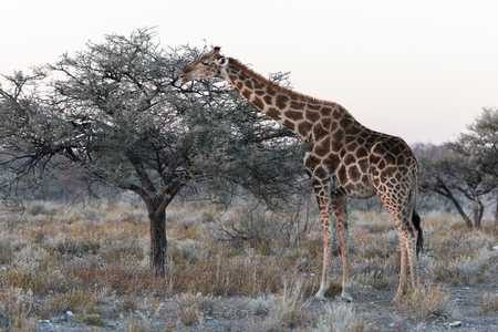Close view of Namibian giraffe eating thin green tree leaves at savanna woodlands of Etosha National Park