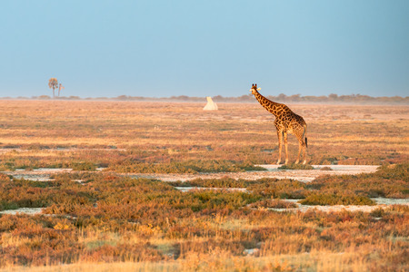 A lonely Namibian giraffe is looking at a distant termitary during sunset at savanna of Etosha National Park