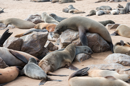 A big funny fur seal on a rock is comically tries to rise above other members of colony at Cape Cross Seal Reserve