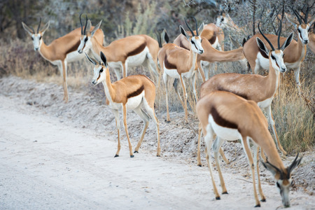 A group of Springbok antelopes is cautiously crossing a dirt road of Etosha National Park at Namibia