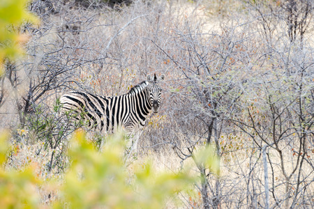 Cautious zebra is standing and looking into camera at savanna of Etosha National Park of Namibia