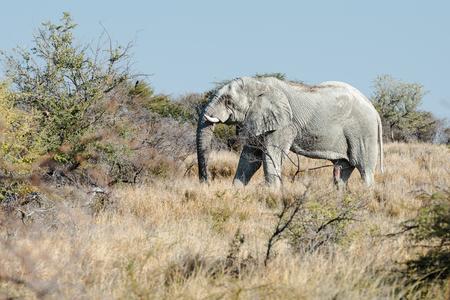 An old Namibian elephant is moving through savanna woodlands of Etosha National Park, Namibia
