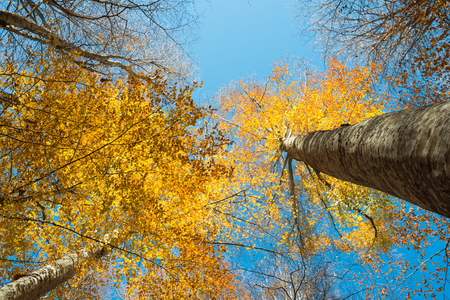 Horizontal close view of a beech trunk and colorful golden autumn foliage on a blue sky background