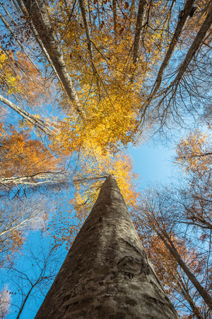 Vertical close view of a beech trunk and colorful golden autumn foliage on a blue sky background
