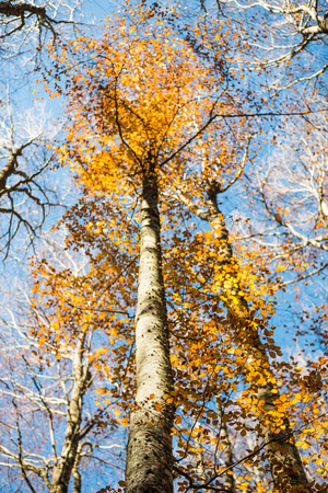 Vertical close view of a focused beech trunk and blurred colorful golden autumn treetop on a blue sky background Stock Photo