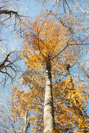 Vertical close view of a blurred beech trunk and focused colorful golden autumn treetop on a blue sky background