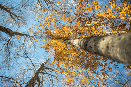 Horizontal close view of a blurred beech trunk and focused colorful golden autumn treetop on a blue sky background Stock Photo