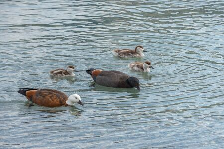 Mother and father ducks are teaching their ducklings how to find food in the shallow water of Lake Wakatipu Standard-Bild - 133472703