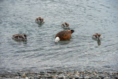 Mother duck is teaching her ducklings how to find food in the shallow water of Lake Wakatipu Standard-Bild - 133472705