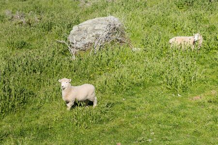 Funny young sheep on a green mountain slope along Roys Peak Track