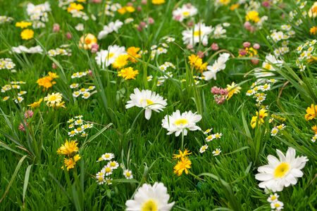 Wild flowers on green meadow. Close up.