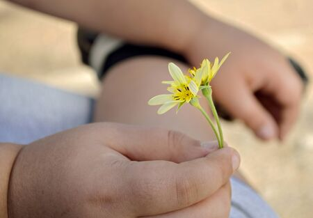 emphasis: The hand of the child holds a flower. Flower small. Yellow color. Small depth of sharpness. Emphasis of attention on the first flower. Outdoors. Close up. horizontal format. Color. Photo.